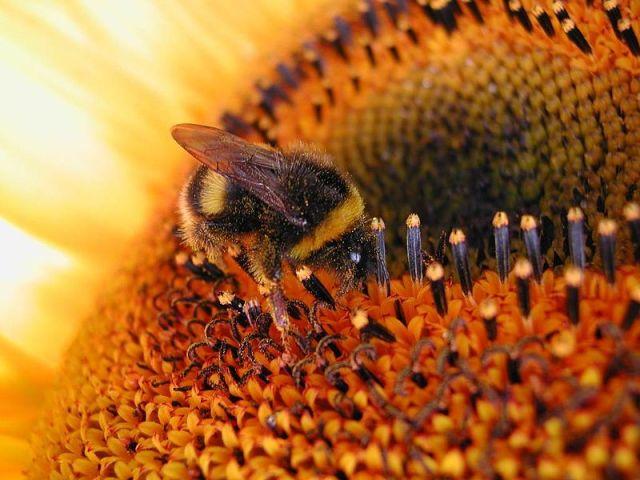 Hoa Hướng Dương - sun flower Loài hoa của mặt trời