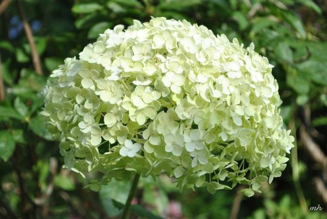 Hoa Cẩm tú cầu 2013 (266)