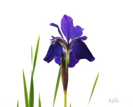 hoa Diên Vĩ