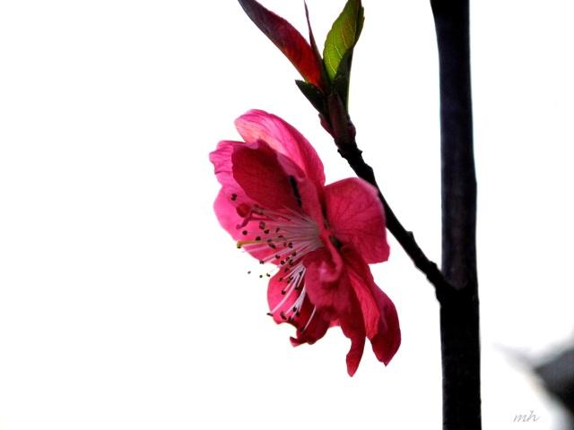 Hoa anh đào đỏ (60)