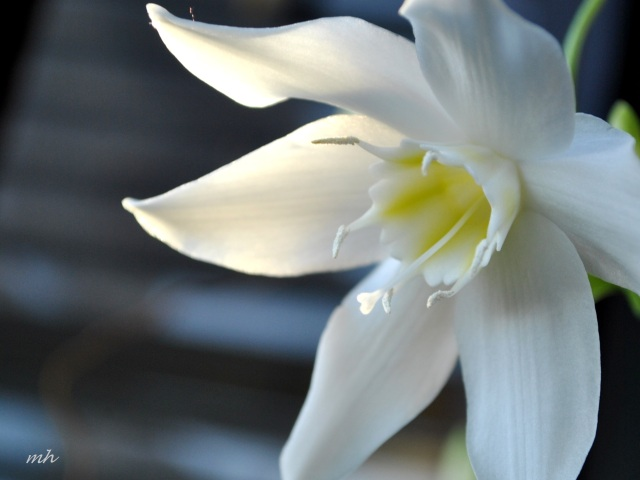 Hoa Ngọc trâm - Amazon Lily 2014 mh (1)