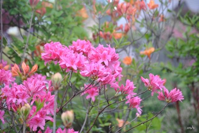 Hoa Đỗ quyên, 2014 (56)